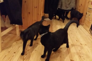 ざわつく黒猫たち