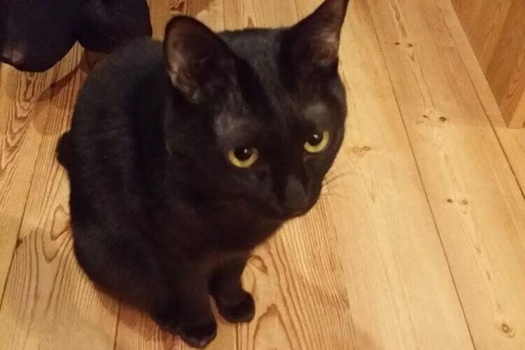 上目づかいの黒猫