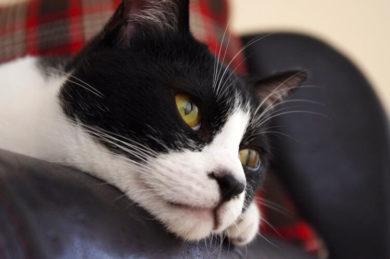 ソファに横たわる猫