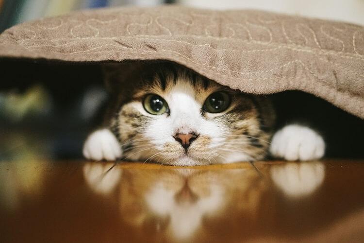座布団に隠れる猫